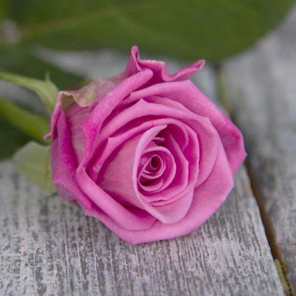 Роза ярко розовая Россия 60 см