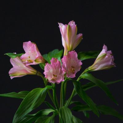 Альстромерия нежно розовая