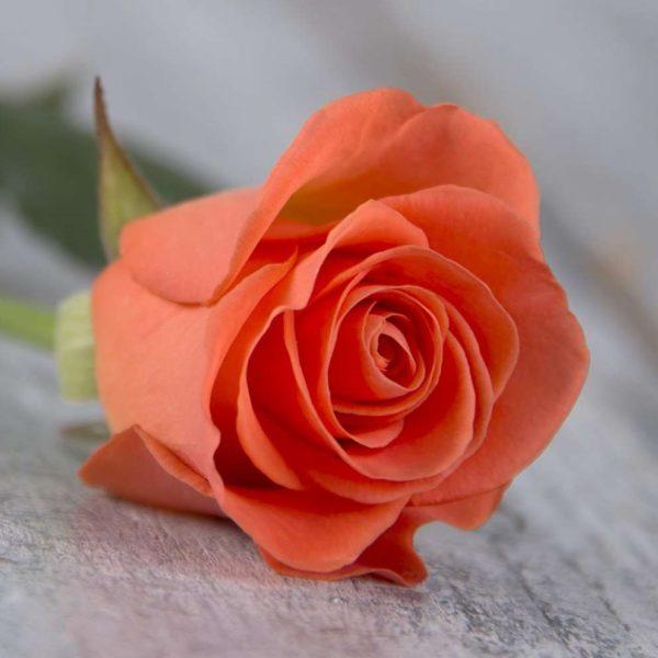 Роза оранжевая Россия 60 см