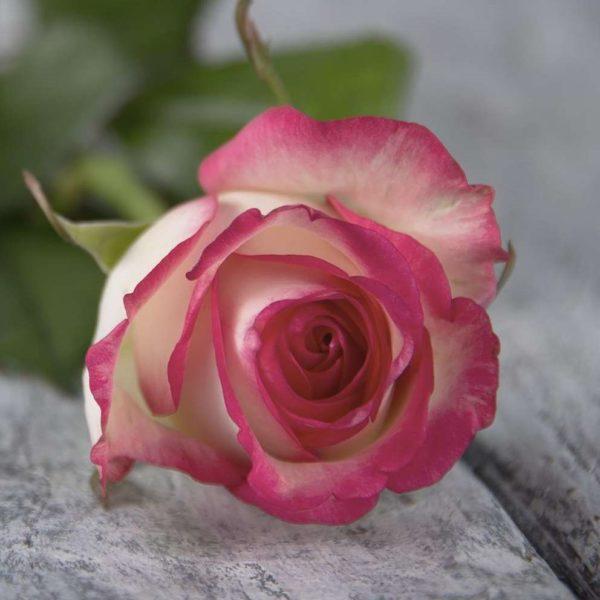Роза бело-розовая Россия 60 см