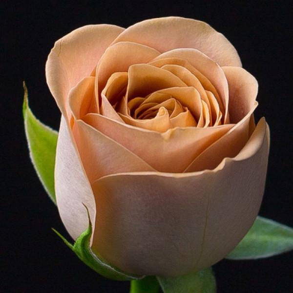 Роза кофейная Эквадор 60 см
