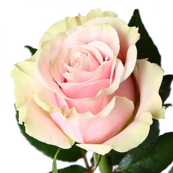 Роза нежно розовая Эквадор 60 см