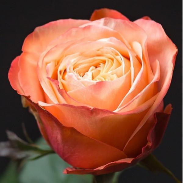 Роза оранжевая Эквадор 60 см