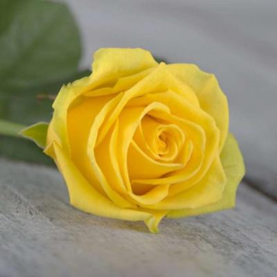Роза желтая Россия 60 см
