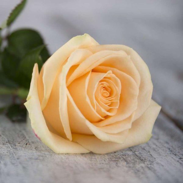 Роза кремовая Россия 60 см