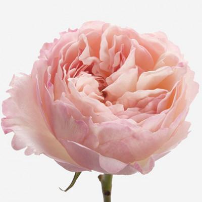 Роза пионовидная розовая