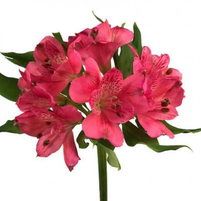 Альстромерия ярко розовая