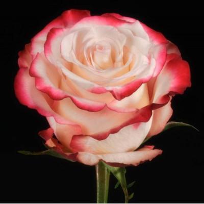 Роза бело красная Эквадор 60 см
