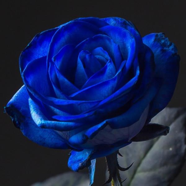 Роза Синяя