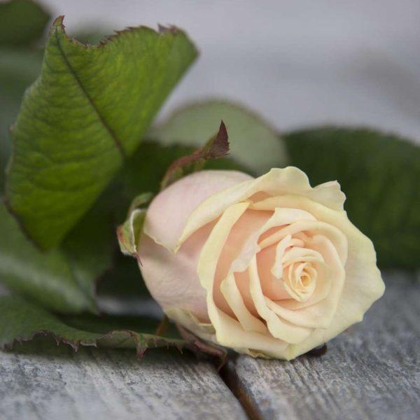 Роза нежно розовая Россия 60 см