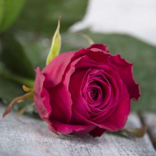 Роза малиновая Россия 60 см