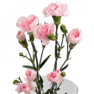 Гвоздика кустовая розовая