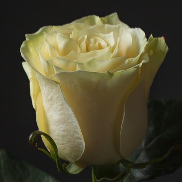 Роза Белая Эквадор 60 см