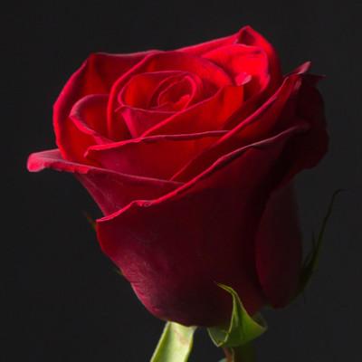 Роза красная Эквадор 60 см