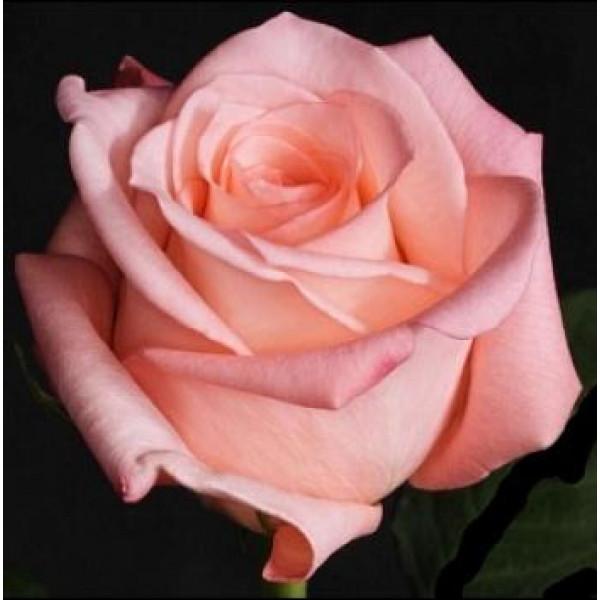 Роза розовая Эквадор 60 см