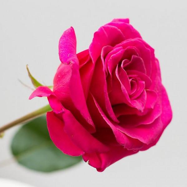 Роза малиновая Эквадор 60 см