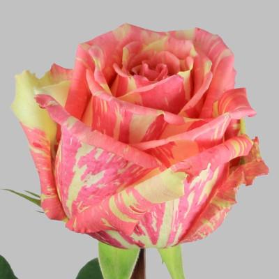 Роза полосатая бело-розовая Эквадор