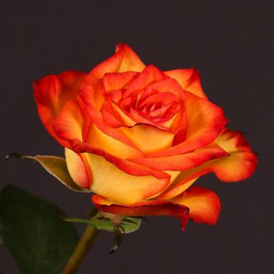 Роза желто-красная Эквадор 60 см