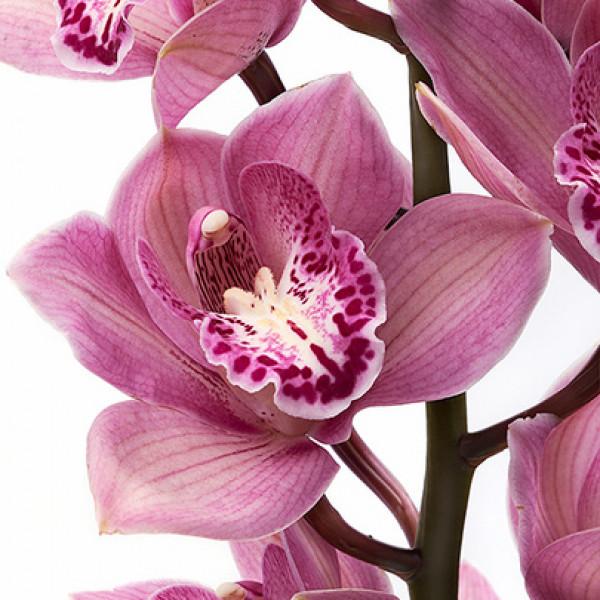 Орхидея бордовая