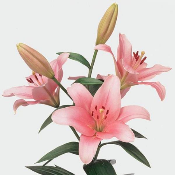 Лилия розовая