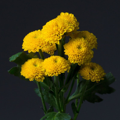 Хризантема кустовая Лимончелло