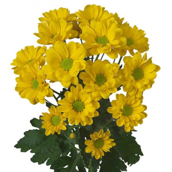 Хризантема кустовая ромашка желтая