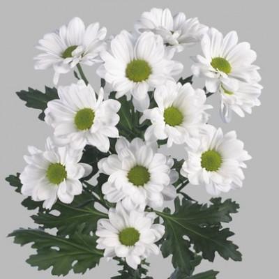 Хризантема кустовая белая ромашка