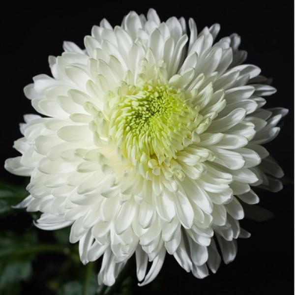 Хризантема одноголовая белая Антонов