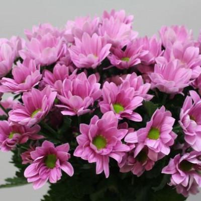 Хризантема кустовая розовая ромашка