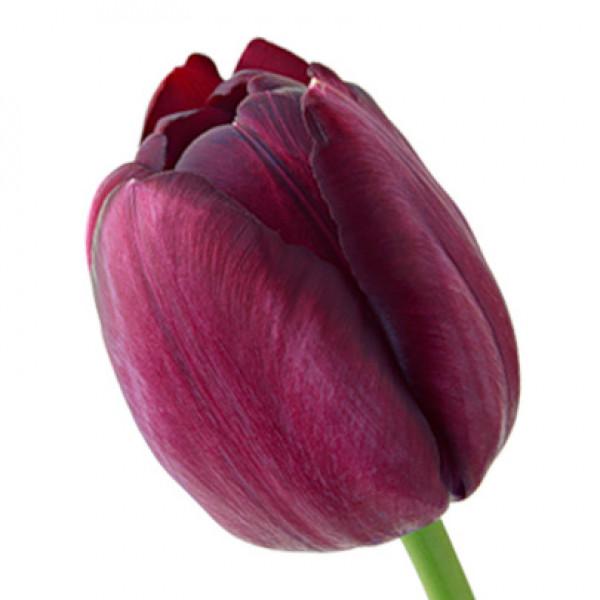 Тюльпан темно сиреневый