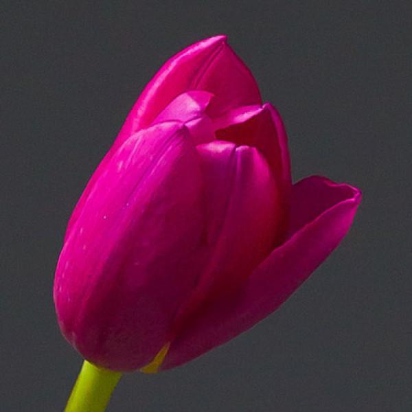 Тюльпан малиновый