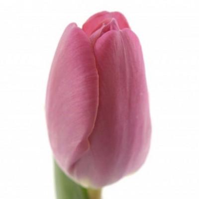 Тюльпан темно-розовый