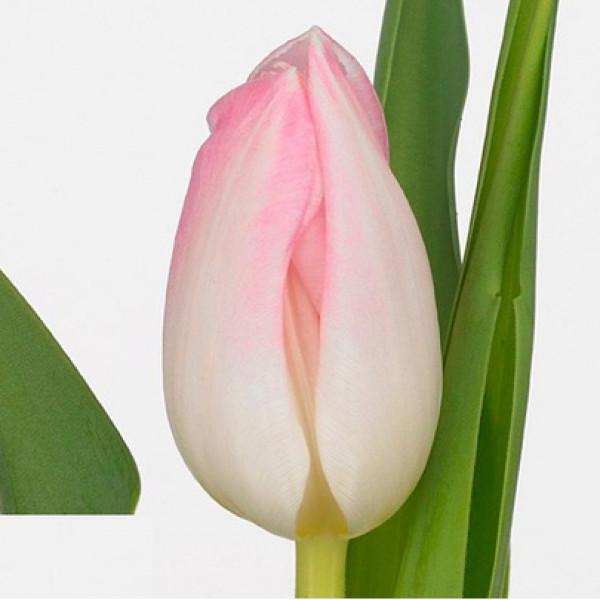 Тюльпан нежно-розовый