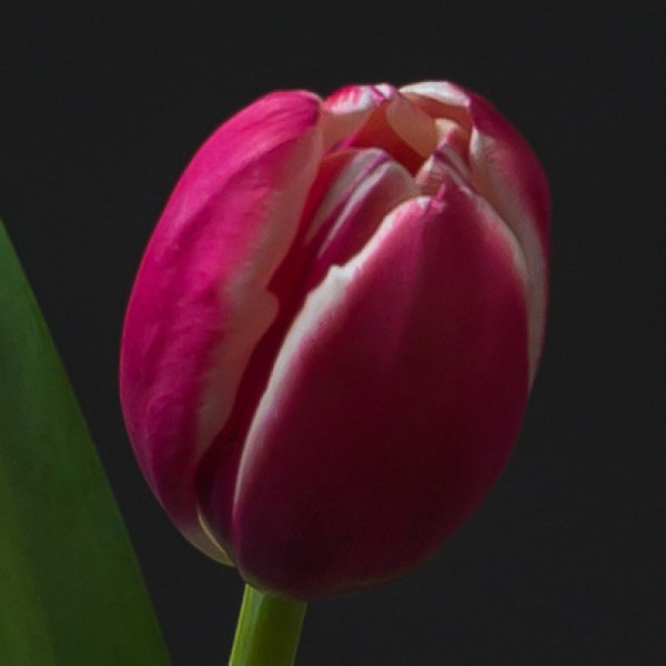 Тюльпан бело-розовый