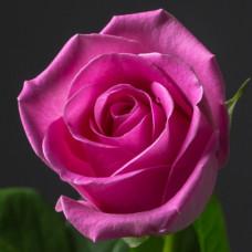 Роза розовая Кения 50 см