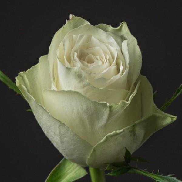 Роза белая Кения 50 см