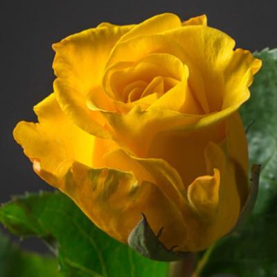 Роза желтая Кения 50 см