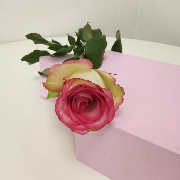 Роза бело-розовая Кения 50 см