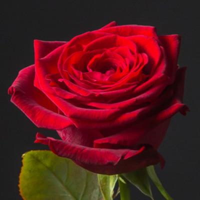 Роза красная Кения 50 см