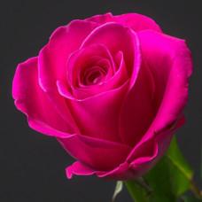 Роза малиновая Кения 50 см