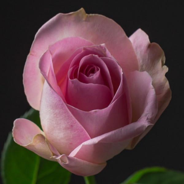 Роза нежно розовая Кения 50 см