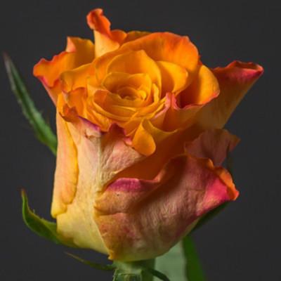 Роза Кения нежно-оранжевая 50 см