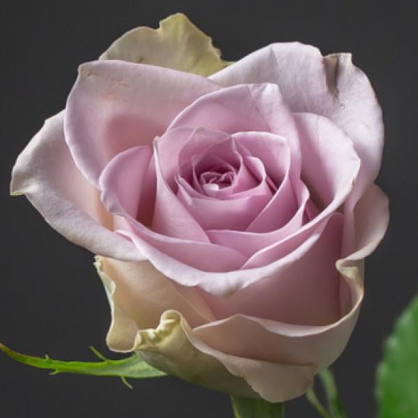 Роза сиреневая Кения 50 см