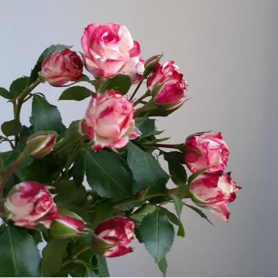Роза кустовая бело-красная