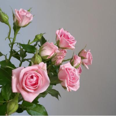 Роза кустовая бледно розовая