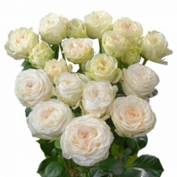 Роза кустовая пионовидная белая