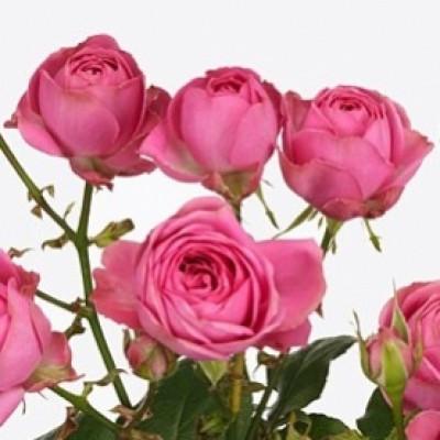 Роза кустовая пионовидная розовая