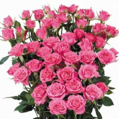 Роза кустовая малиновая ЭКСТРА