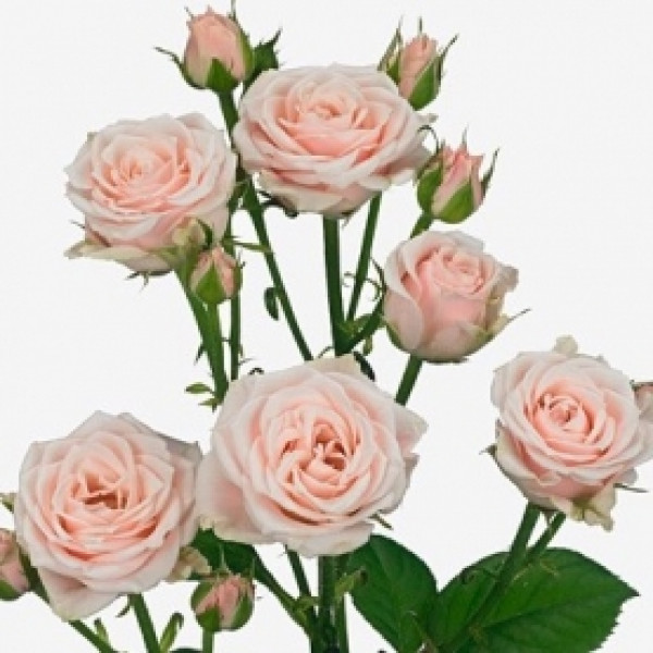 Роза кустовая нежно розовая