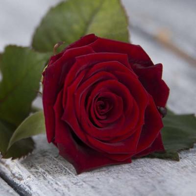 Роза Красная Россия 70 см